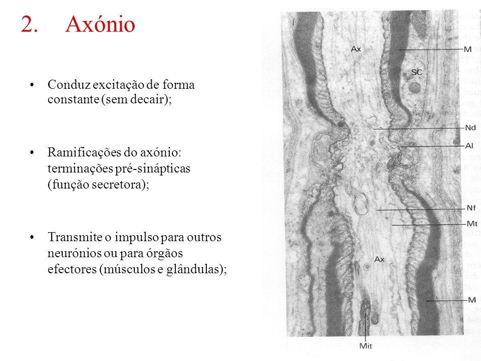 2. Axónio Conduz excitação de forma constante (sem decair);