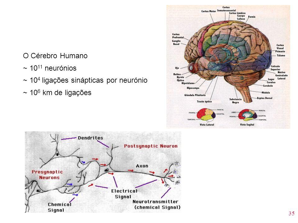 O Cérebro Humano ~ 1011 neurónios ~ 104 ligações sinápticas por neurónio ~ 106 km de ligações