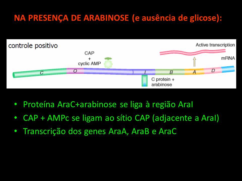 NA PRESENÇA DE ARABINOSE (e ausência de glicose):