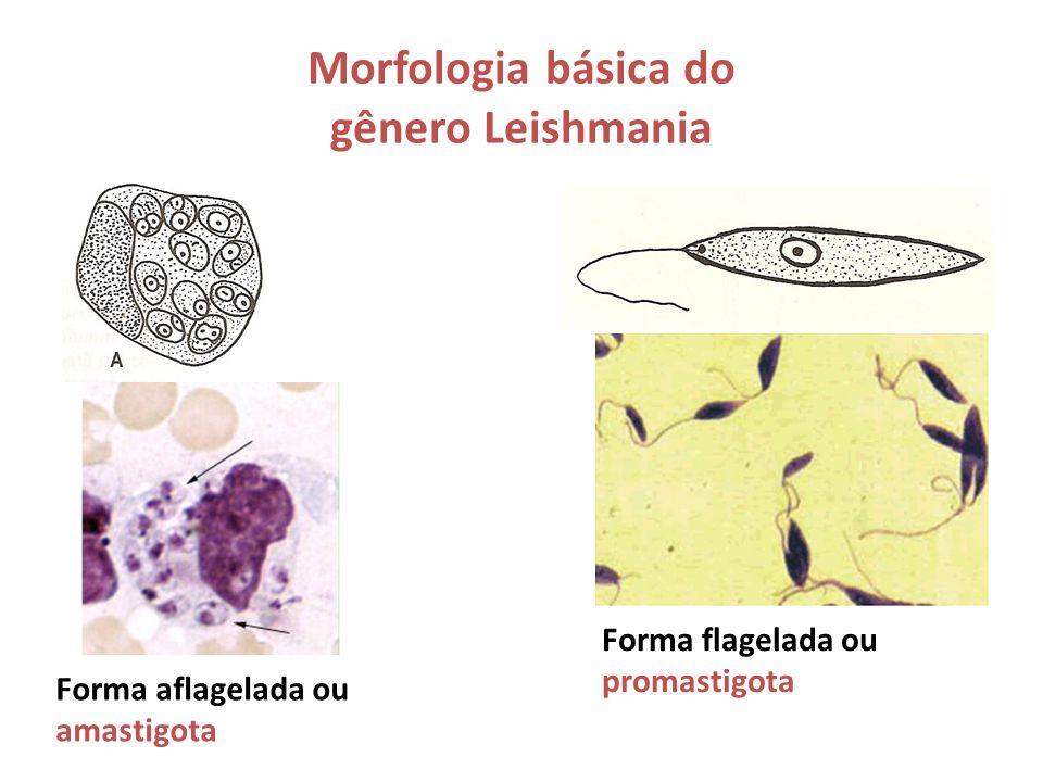 Morfologia básica do gênero Leishmania