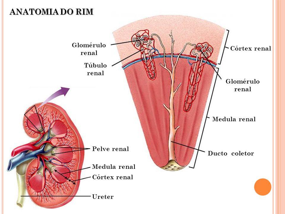 ANATOMIA DO RIM Glomérulo renal Córtex renal Túbulo renal