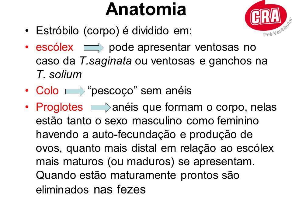 Anatomia Estróbilo (corpo) é dividido em: