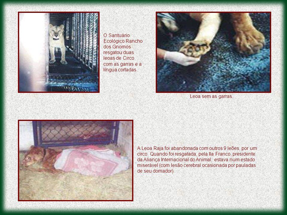 O Santuário Ecológico Rancho dos Gnomos resgatou duas leoas de Circo com as garras e a língua cortadas.