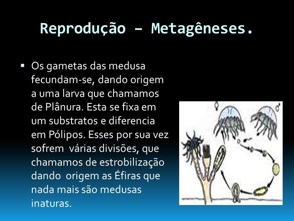Reprodução – Metagêneses.