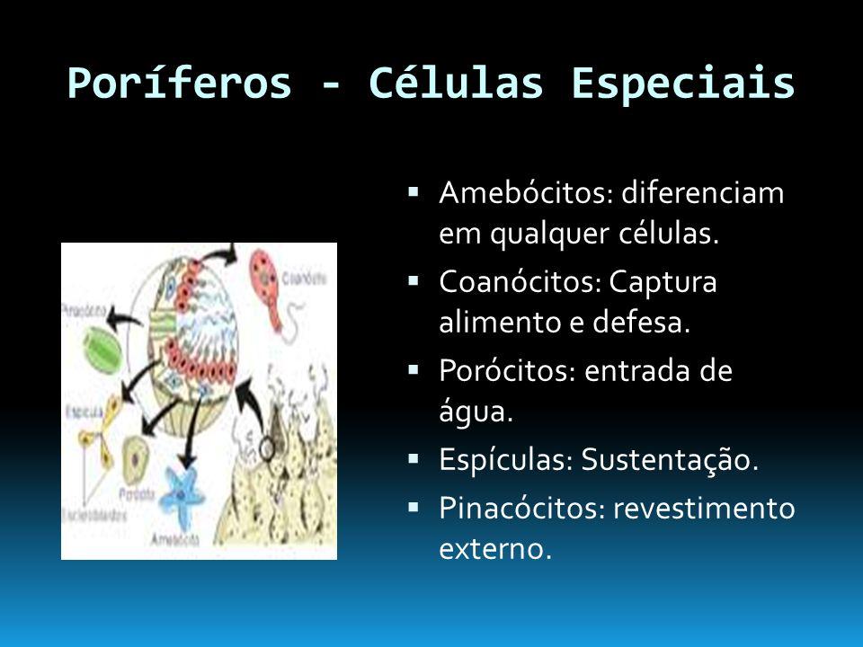 Poríferos - Células Especiais