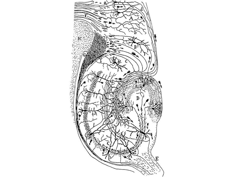 Polarização (tanto morfológica quanto funcional)