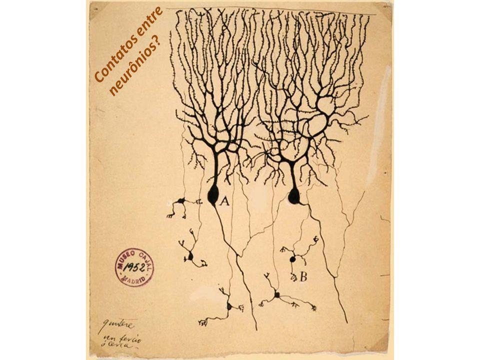 Contatos entre neurônios