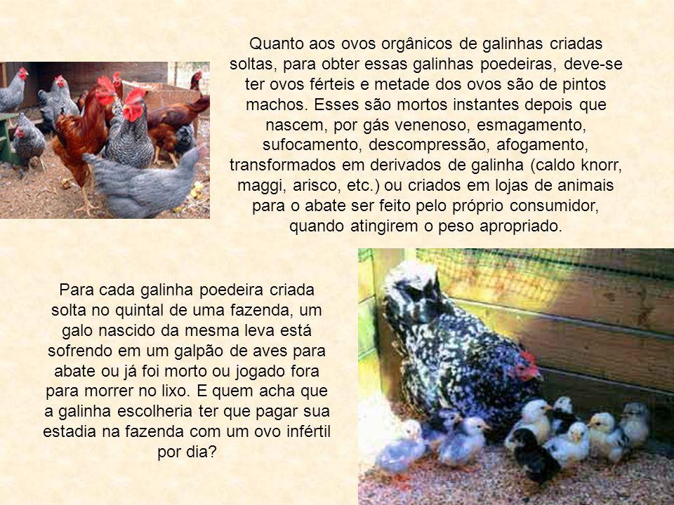 Quanto aos ovos orgânicos de galinhas criadas soltas, para obter essas galinhas poedeiras, deve-se ter ovos férteis e metade dos ovos são de pintos machos. Esses são mortos instantes depois que nascem, por gás venenoso, esmagamento, sufocamento, descompressão, afogamento, transformados em derivados de galinha (caldo knorr, maggi, arisco, etc.) ou criados em lojas de animais para o abate ser feito pelo próprio consumidor, quando atingirem o peso apropriado.