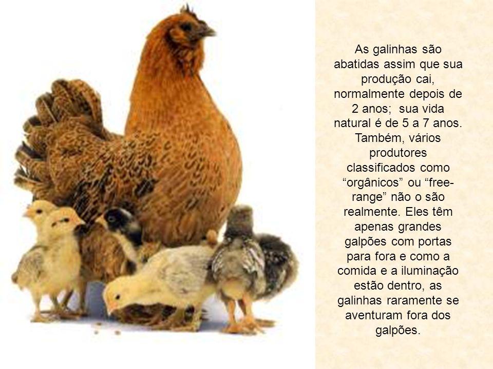 As galinhas são abatidas assim que sua produção cai, normalmente depois de 2 anos; sua vida natural é de 5 a 7 anos.