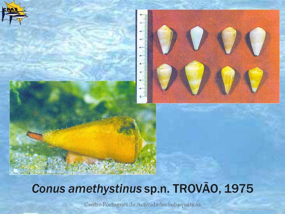 Conus amethystinus sp.n. TROVÃO, 1975