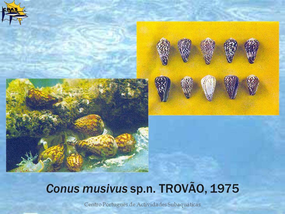 Conus musivus sp.n. TROVÃO, 1975