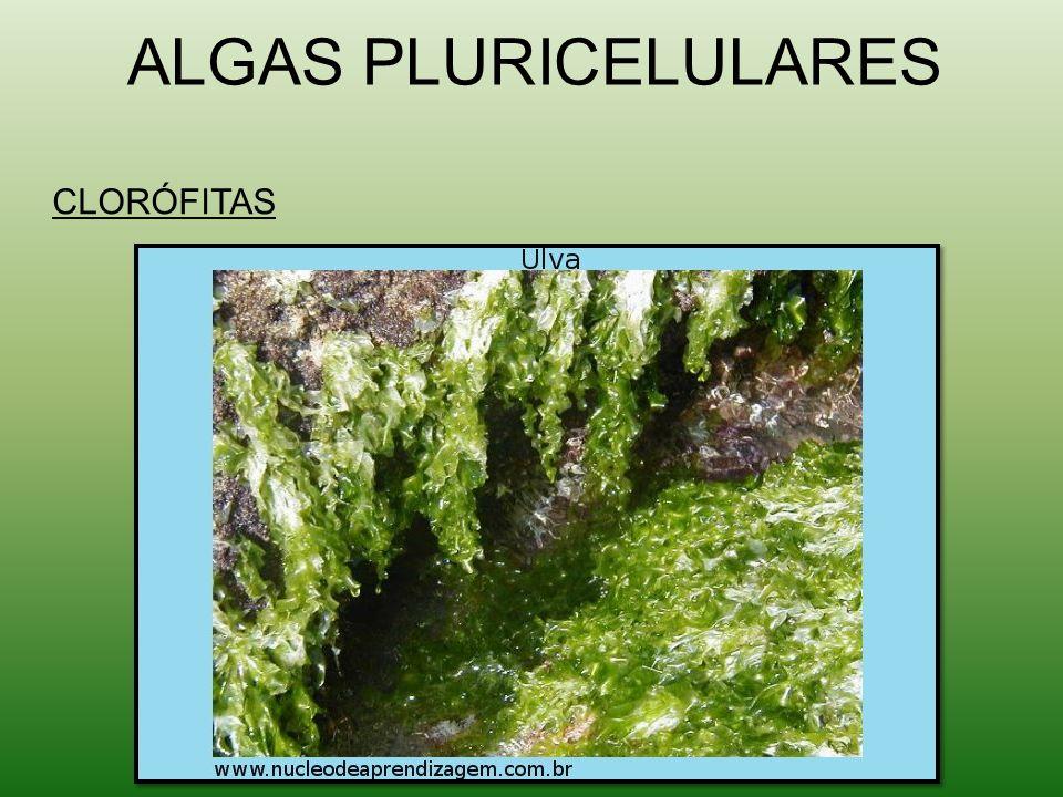ALGAS PLURICELULARES CLORÓFITAS
