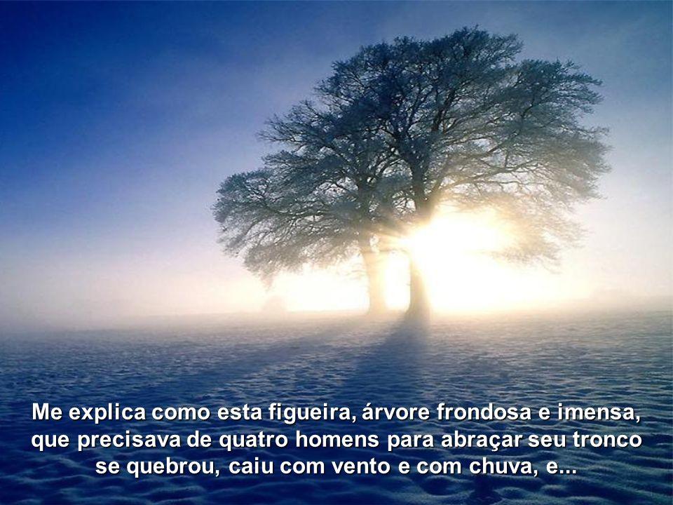 Me explica como esta figueira, árvore frondosa e imensa,