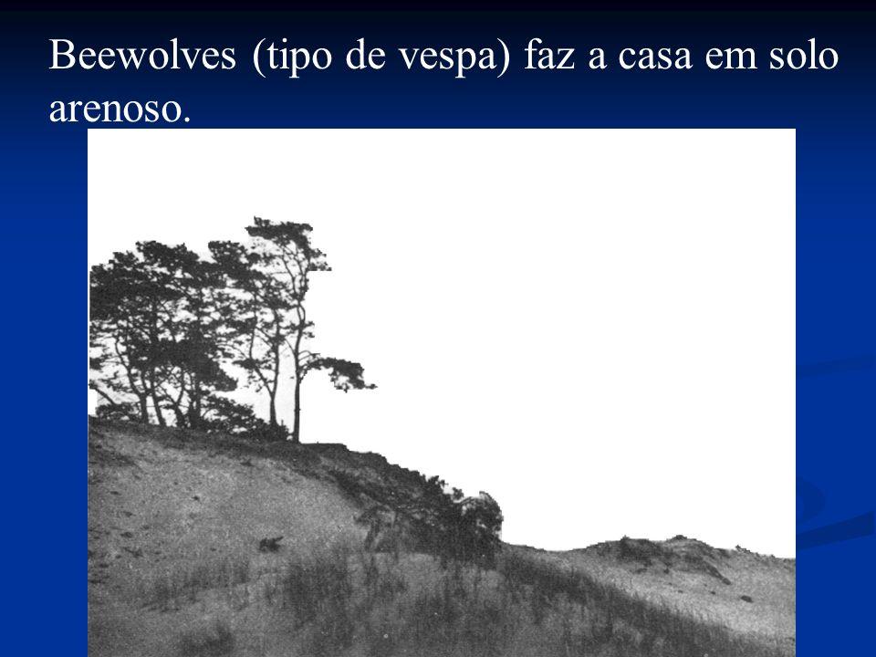 Beewolves (tipo de vespa) faz a casa em solo
