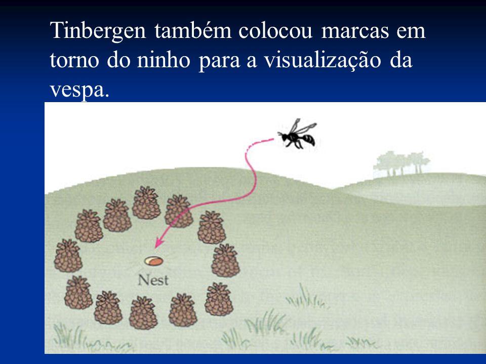Tinbergen também colocou marcas em torno do ninho para a visualização da vespa.