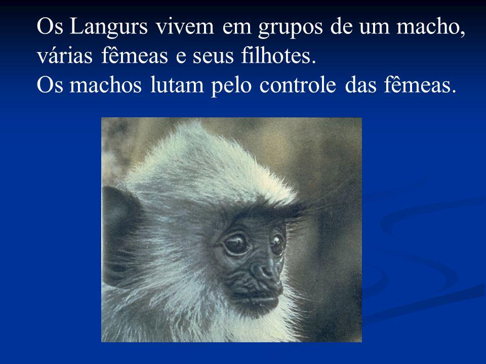 Os Langurs vivem em grupos de um macho,