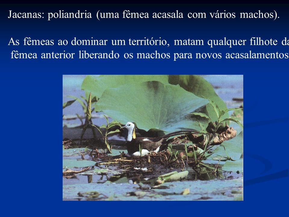 Jacanas: poliandria (uma fêmea acasala com vários machos).