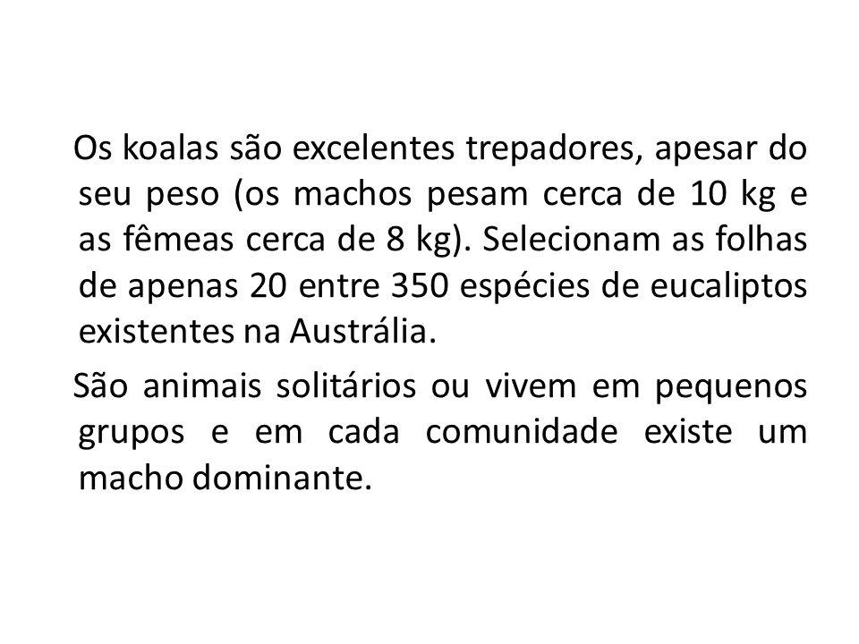 Os koalas são excelentes trepadores, apesar do seu peso (os machos pesam cerca de 10 kg e as fêmeas cerca de 8 kg).