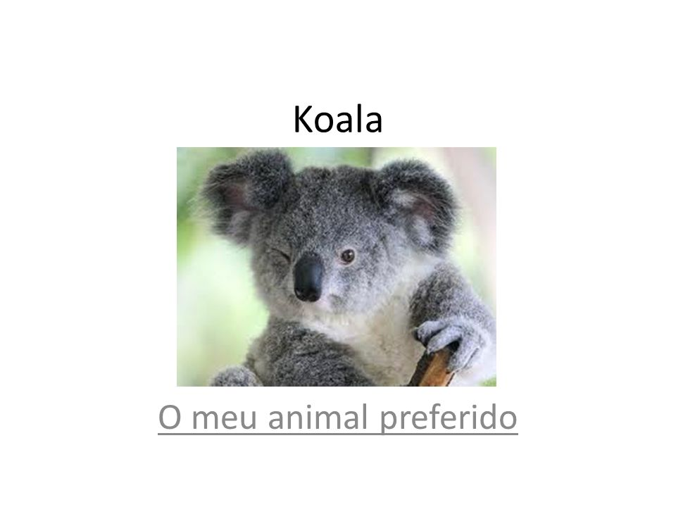 Koala O meu animal preferido