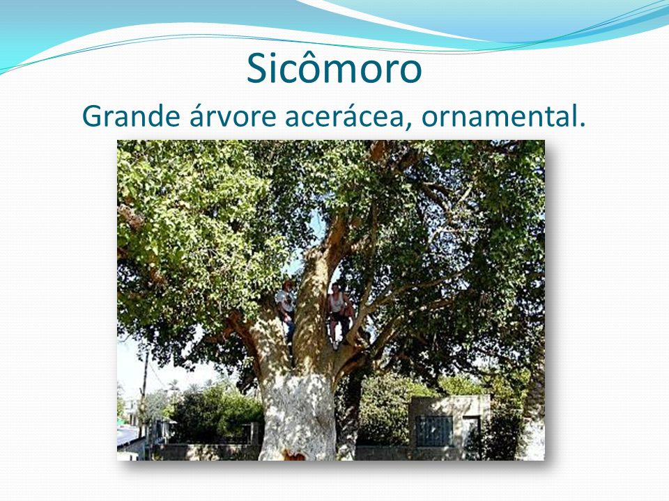 Sicômoro Grande árvore acerácea, ornamental.
