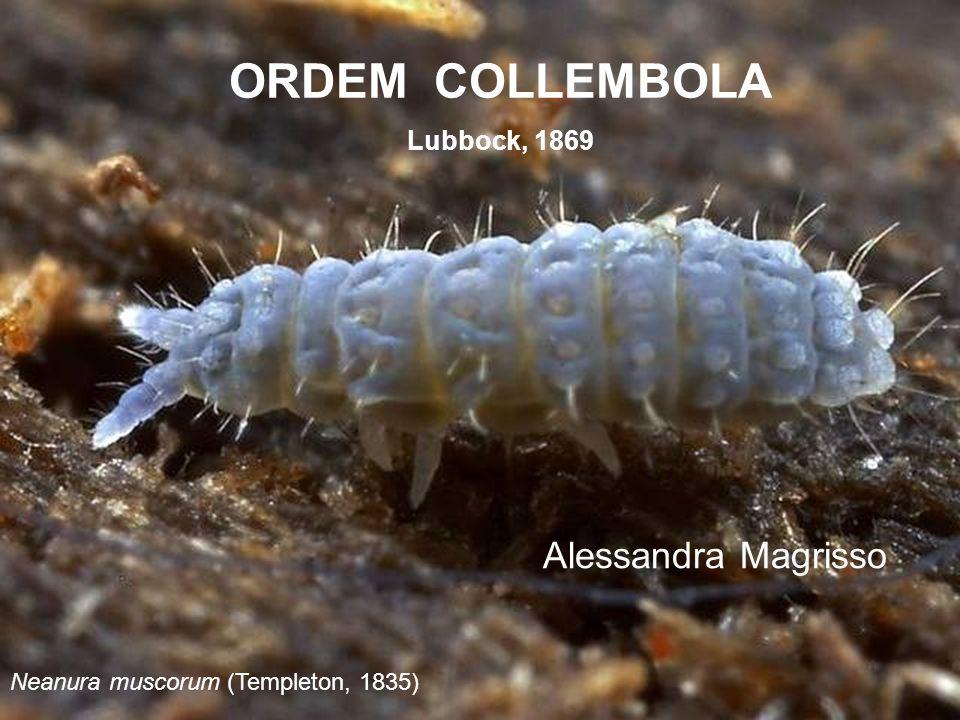 ORDEM COLLEMBOLA Lubbock, 1869