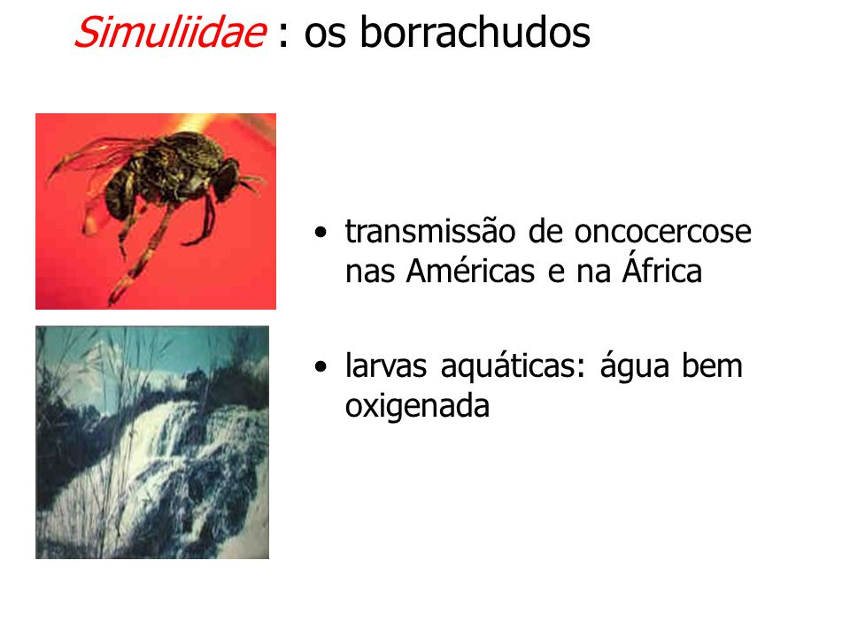 Simuliidae : os borrachudos