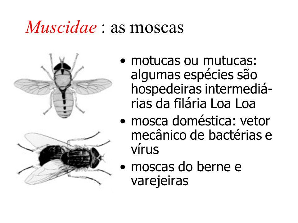 Muscidae : as moscas motucas ou mutucas: algumas espécies são hospedeiras intermediá- rias da filária Loa Loa.