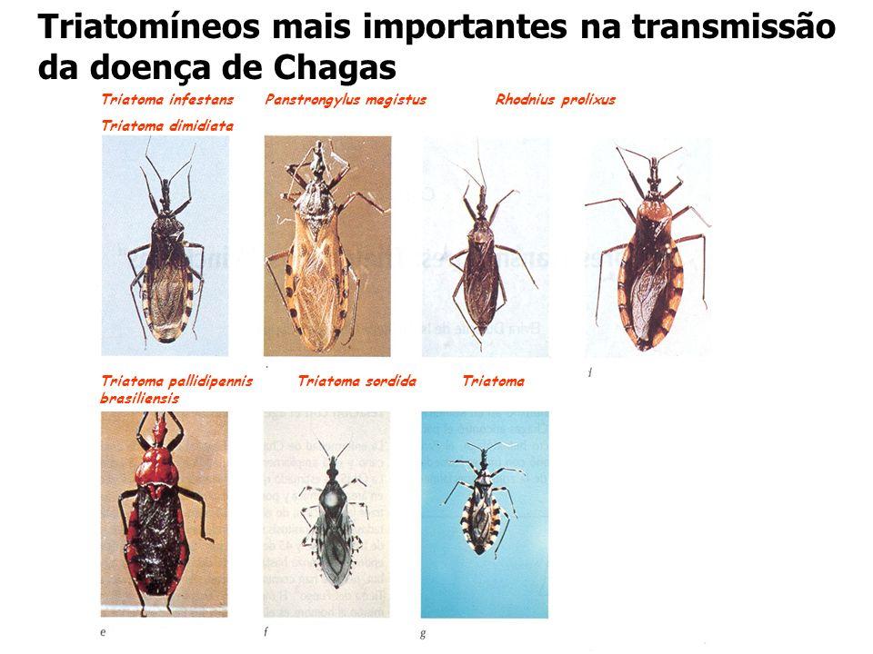 Triatomíneos mais importantes na transmissão da doença de Chagas