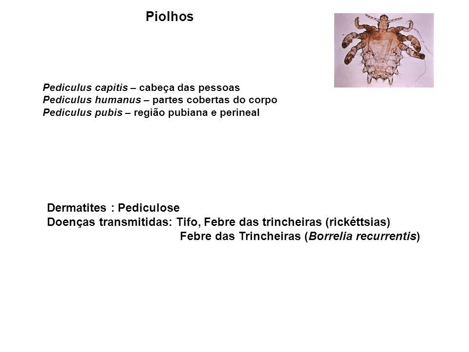 Piolhos Dermatites : Pediculose