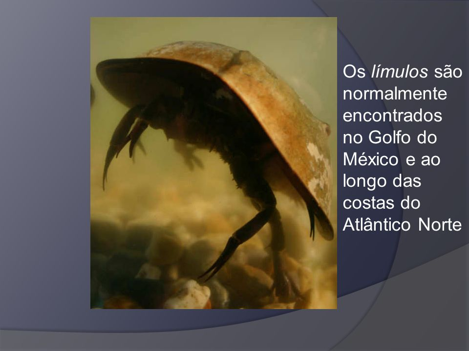 Os límulos são normalmente encontrados no Golfo do México e ao longo das costas do Atlântico Norte