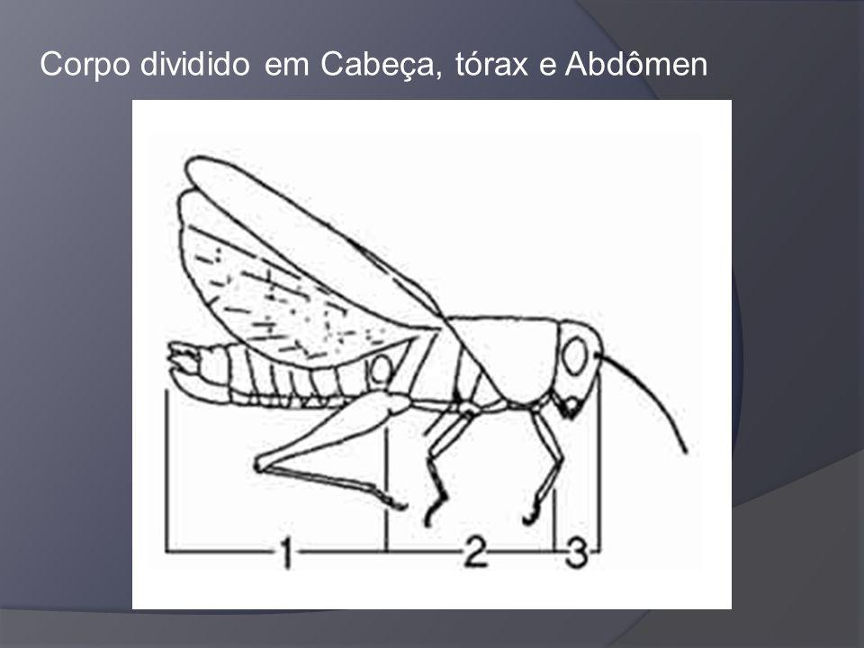 Corpo dividido em Cabeça, tórax e Abdômen