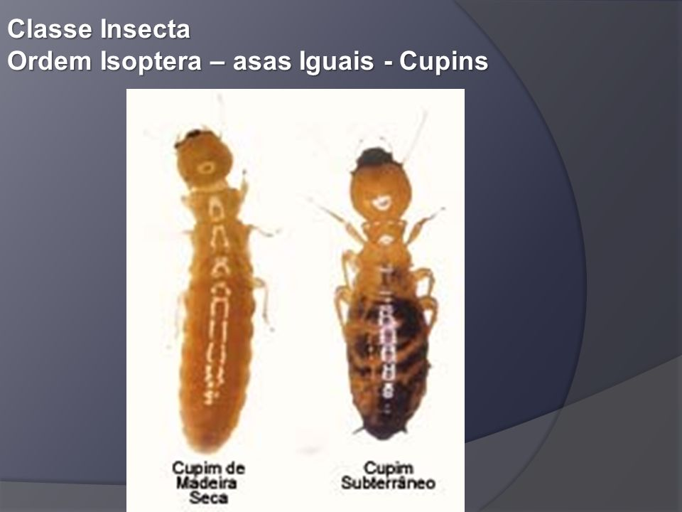 Classe Insecta Ordem Isoptera – asas Iguais - Cupins