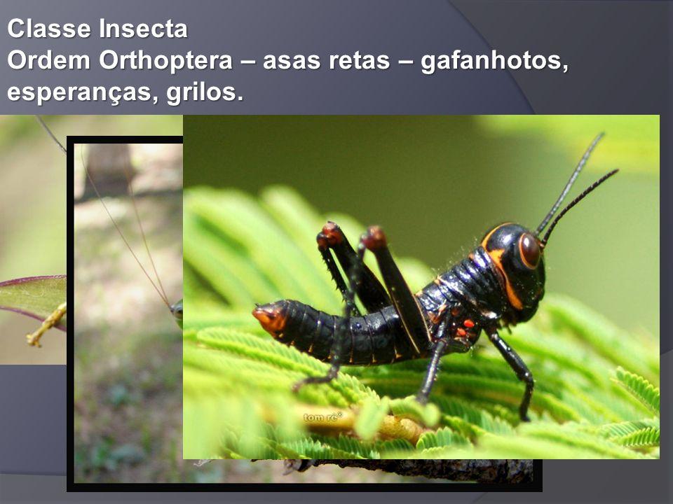 Classe Insecta Ordem Orthoptera – asas retas – gafanhotos, esperanças, grilos.