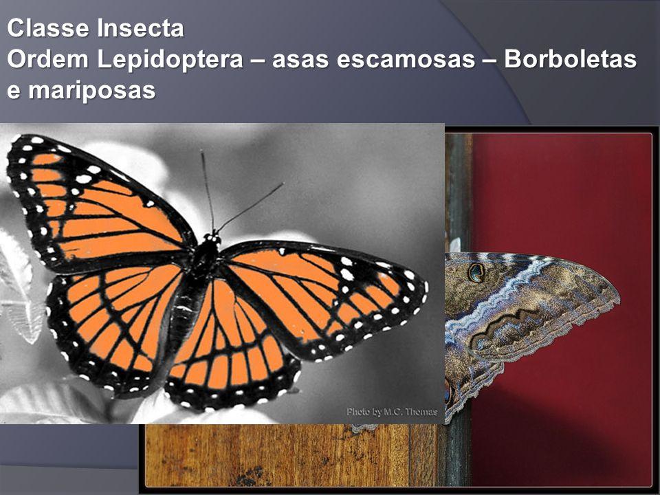 Classe Insecta Ordem Lepidoptera – asas escamosas – Borboletas e mariposas
