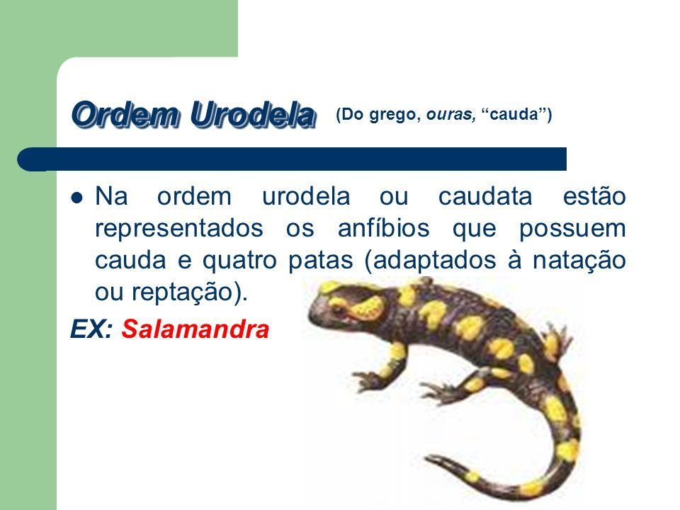 Ordem Urodela (Do grego, ouras, cauda )