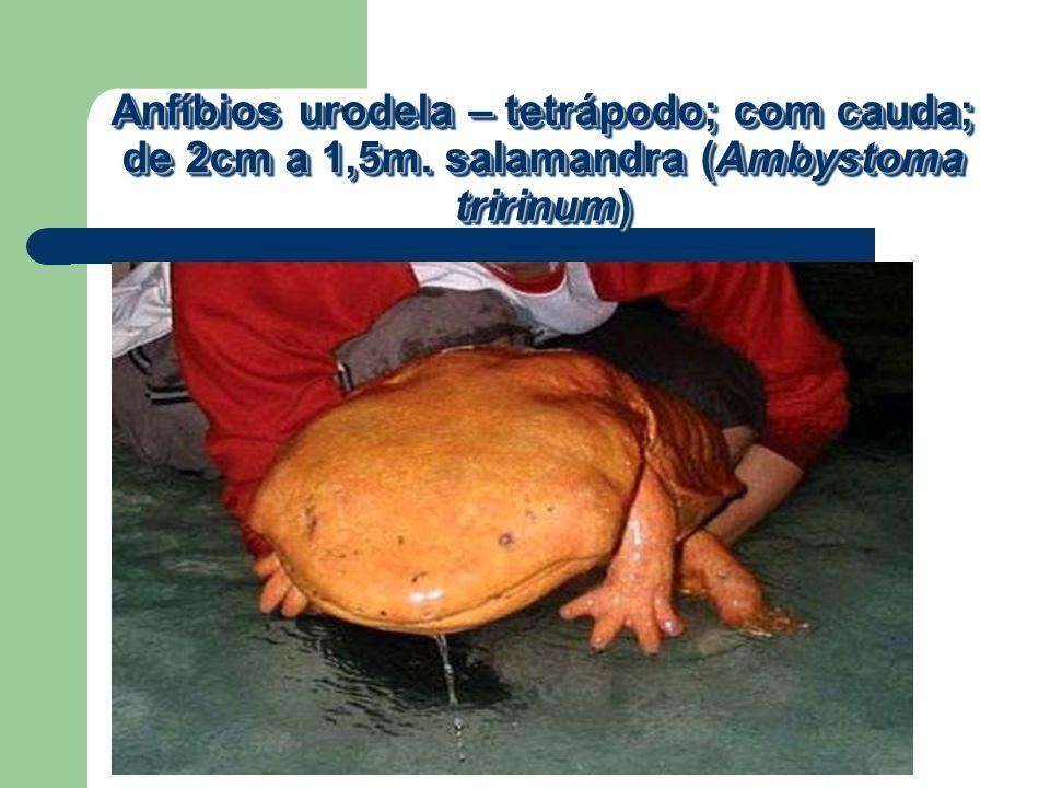 Anfíbios urodela – tetrápodo; com cauda; de 2cm a 1,5m