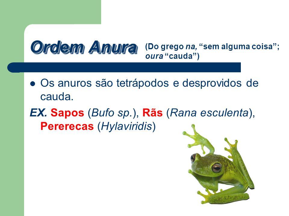 Ordem Anura Os anuros são tetrápodos e desprovidos de cauda.