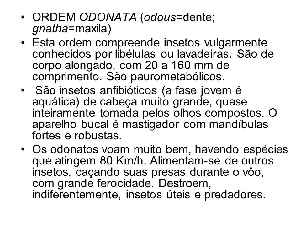 ORDEM ODONATA (odous=dente; gnatha=maxila)