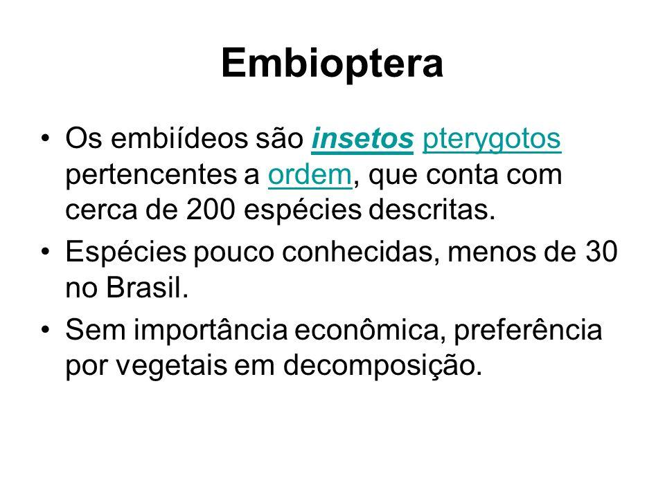 Embioptera Os embiídeos são insetos pterygotos pertencentes a ordem, que conta com cerca de 200 espécies descritas.