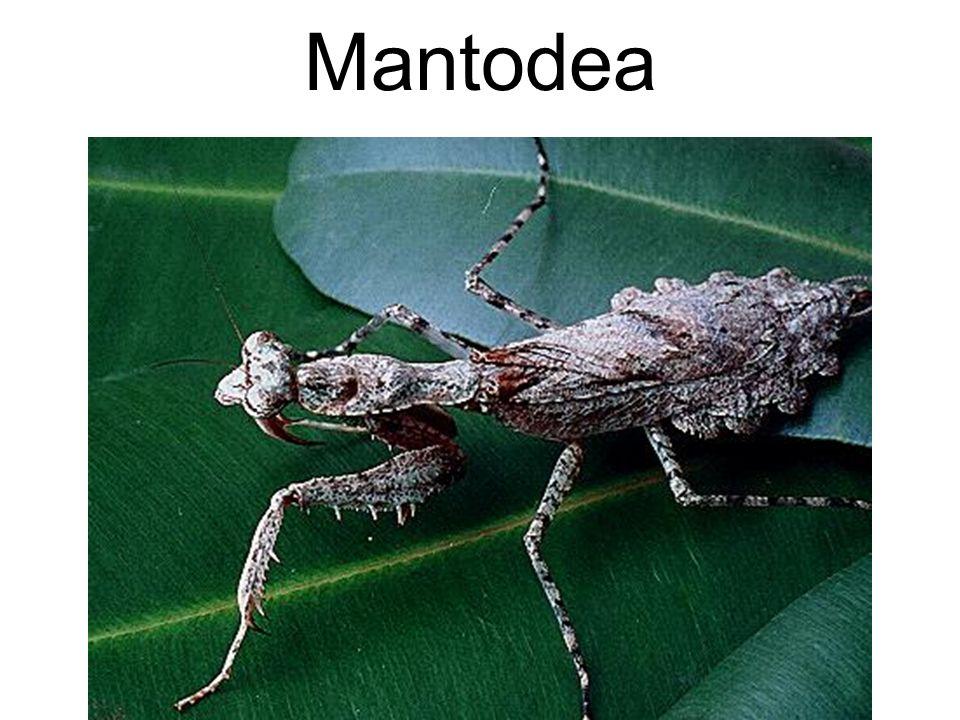 Mantodea