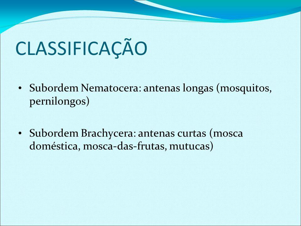 CLASSIFICAÇÃO Subordem Nematocera: antenas longas (mosquitos, pernilongos)