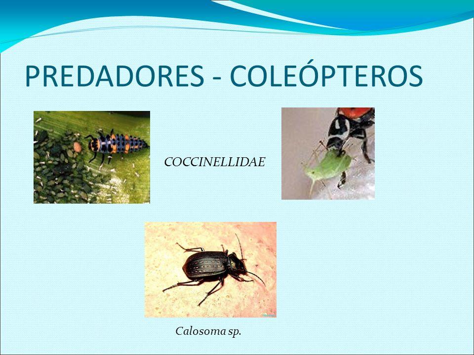 PREDADORES - COLEÓPTEROS