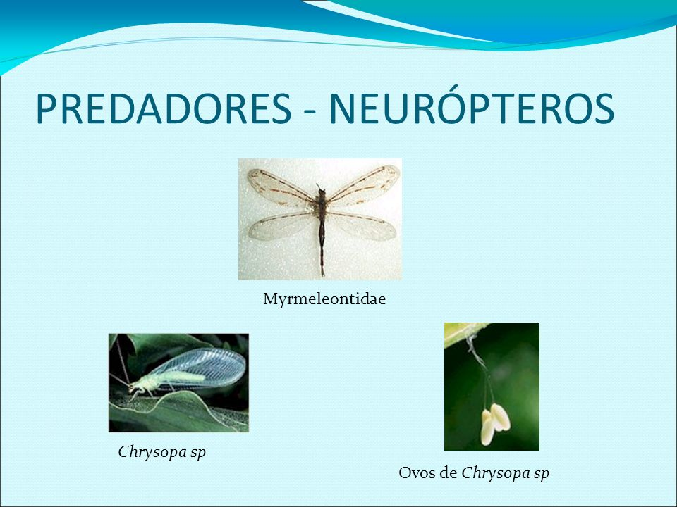 PREDADORES - NEURÓPTEROS