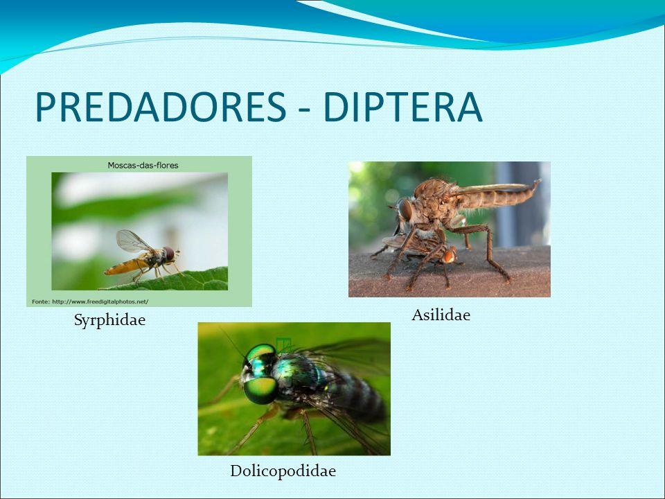 PREDADORES - DIPTERA Asilidae Syrphidae Dolicopodidae