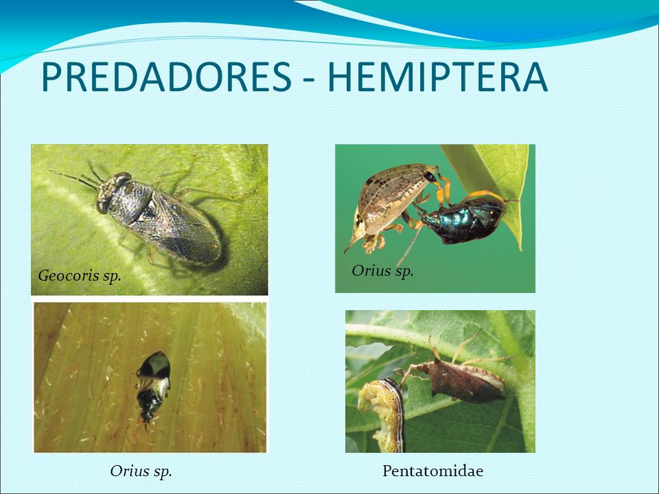 PREDADORES - HEMIPTERA