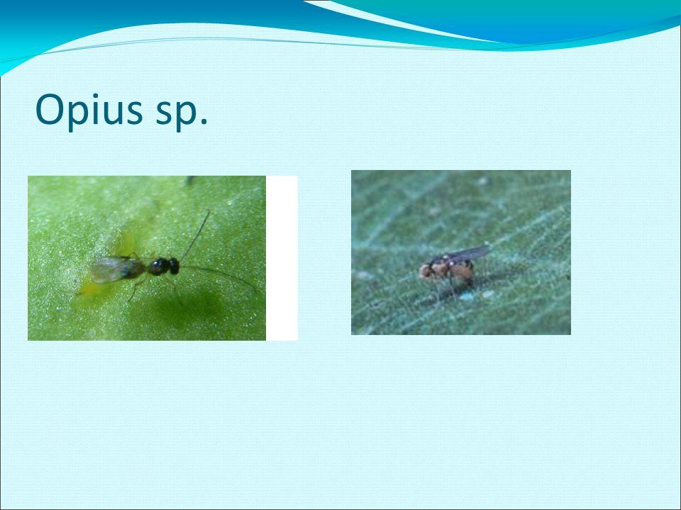 Opius sp.