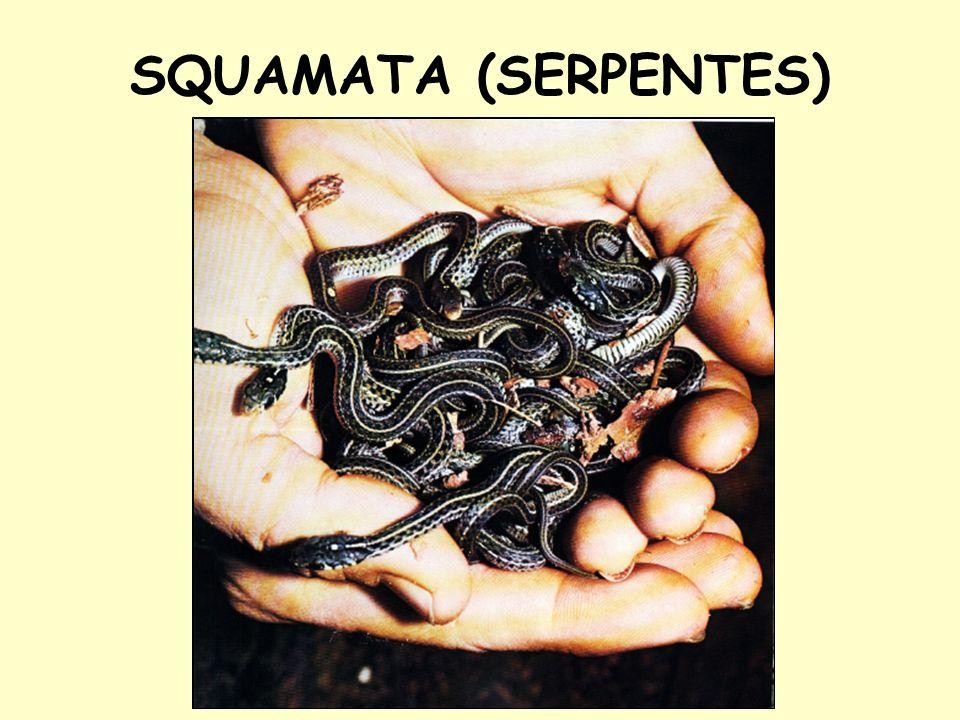 SQUAMATA (SERPENTES)