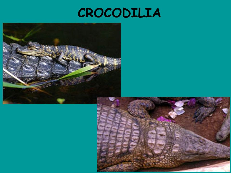 CROCODILIA