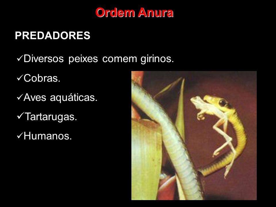 Ordem Anura PREDADORES Tartarugas. Diversos peixes comem girinos.