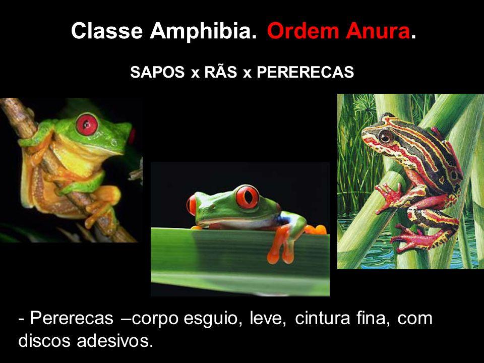 Classe Amphibia. Ordem Anura.